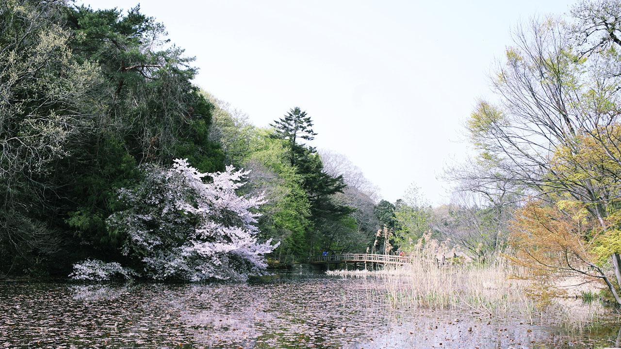 三宝寺池(石神井公園)